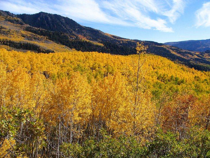 Pando tree: Utah aspens