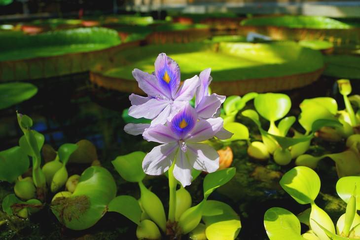 most beautiful aquatic flowers Water Hyacinth