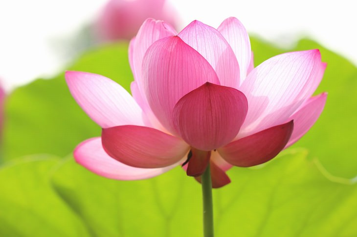 most beautiful aquatic flowers lotus
