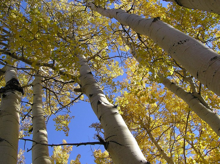 Pando tree: from below