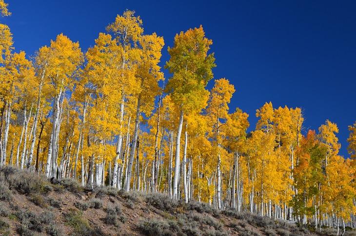 Pando tree: clone tree