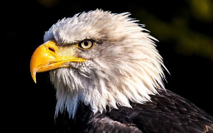USA quiz: bald eagle