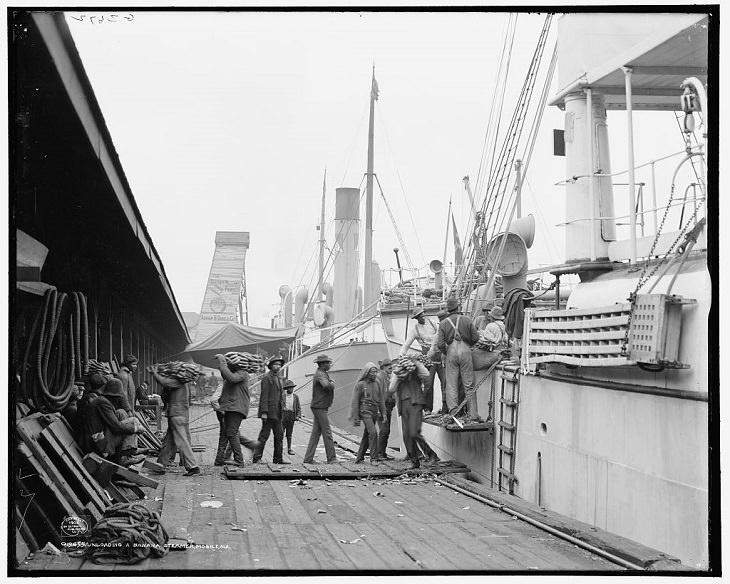 banana extinction unloading a banana steamer 1906