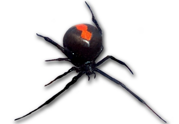 Bites and stings: black widow