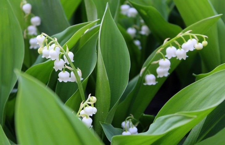 pleasant smelling indoor plants Lily of the Valley (Convallaria)