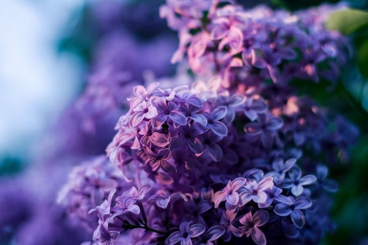 pleasant smelling indoor plants Lilac (Syringa)