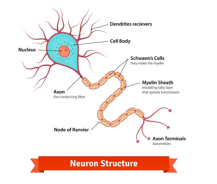 Alzheimer's and sleep neuron