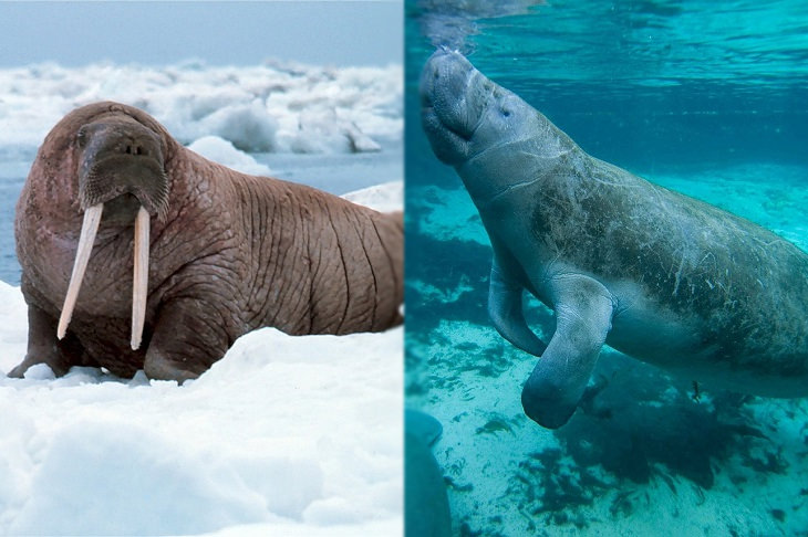 Convergent evolution: walrus and manatee
