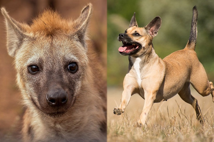 Convergent evolution: hyenas and canines