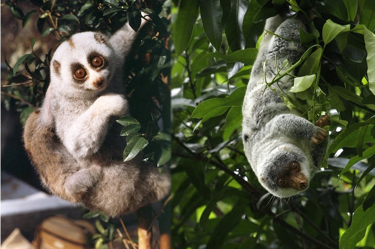 Convergent evolution: slow loris and cuscus