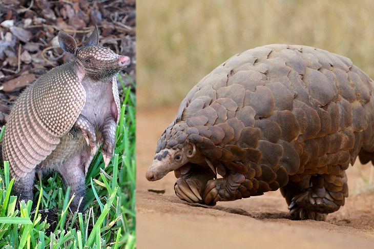 Convergent evolution: armadillo and pangolin