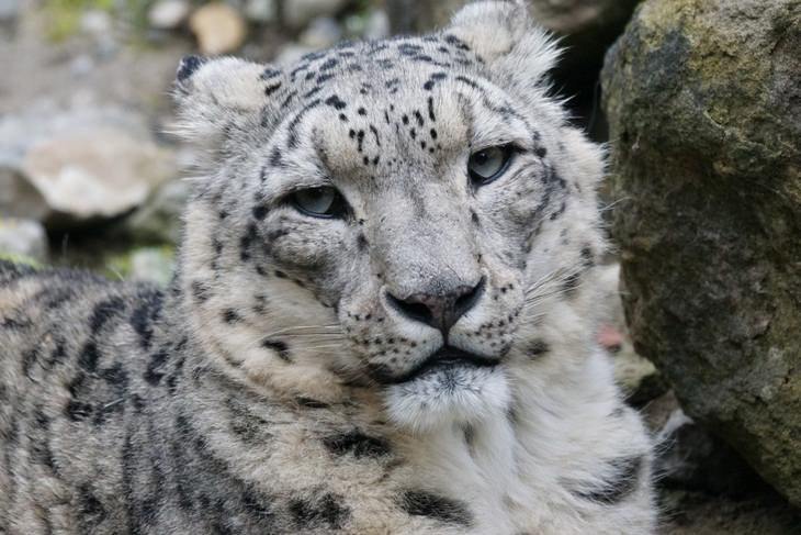 Animals with beautiful hair: snow leopard
