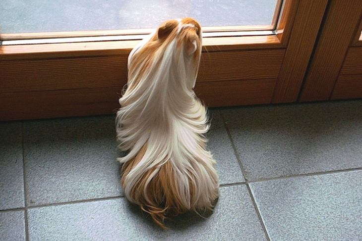 Animals with beautiful hair: guinea pig