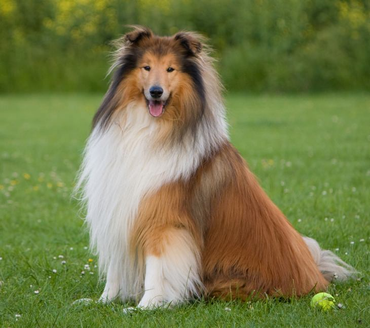 Animals with beautiful hair: collie
