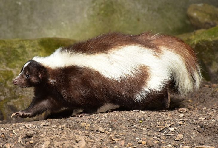 Animals with beautiful hair: skunk