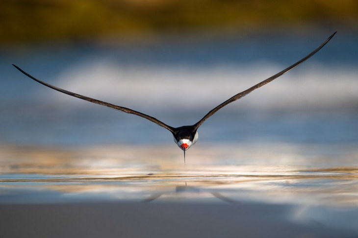 Bird photography winners: Black Skimmer by Nikunj Patel, Gold Award for birds in flight