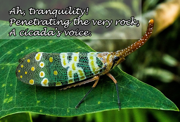 Haikus: cicada