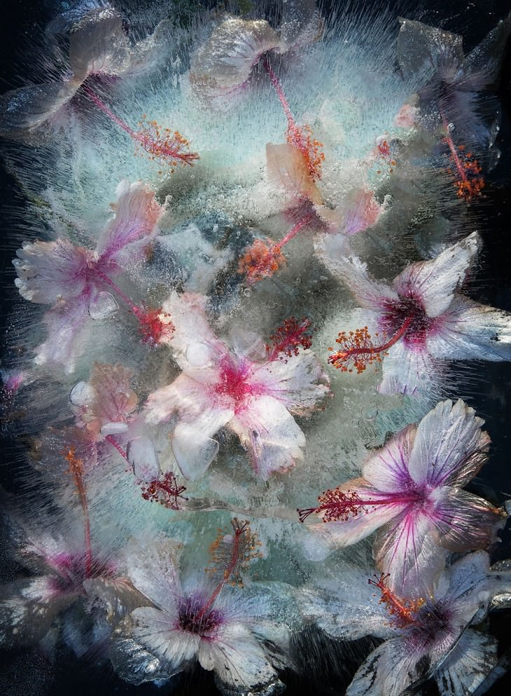 frozen flower photography white hibiscus Tharien Smith and Bruce Boyd
