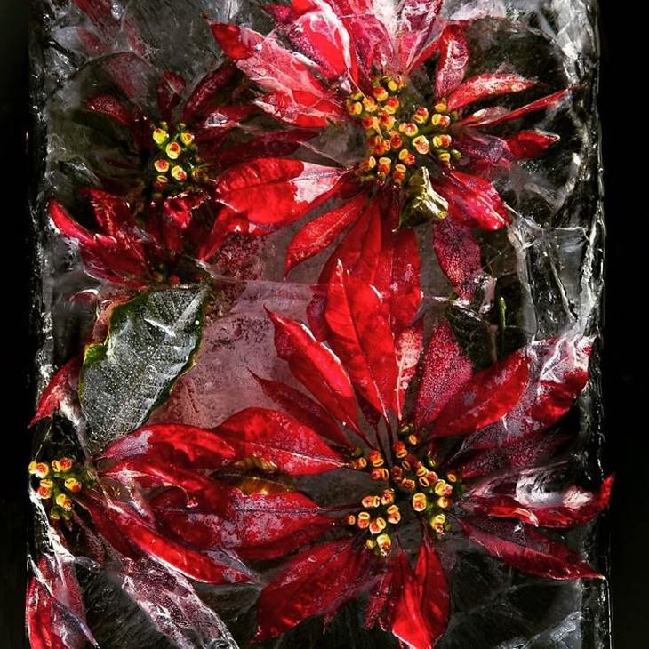 frozen flower photography red flower Tharien Smith and Bruce Boyd