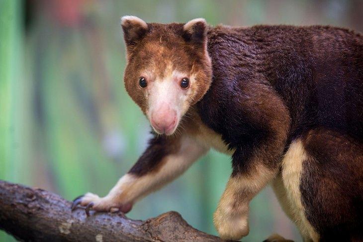 Marsupials: tree kangaroo