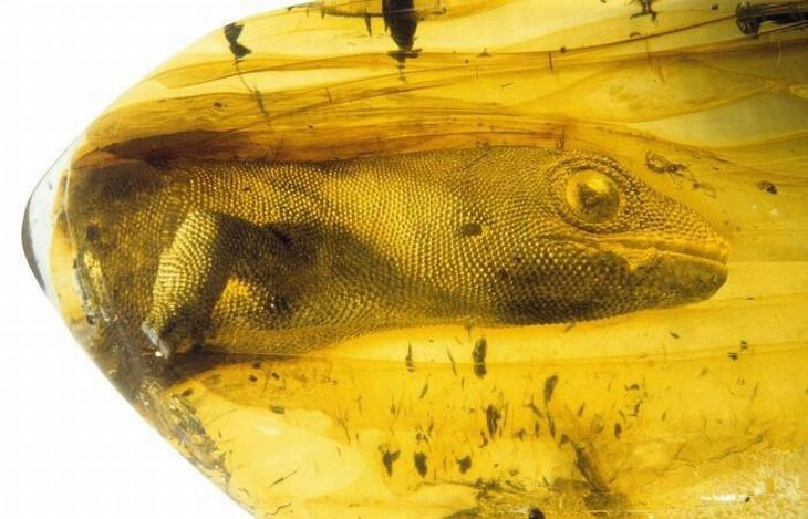 cool and weird nature photo collection gecko trapped in amber
