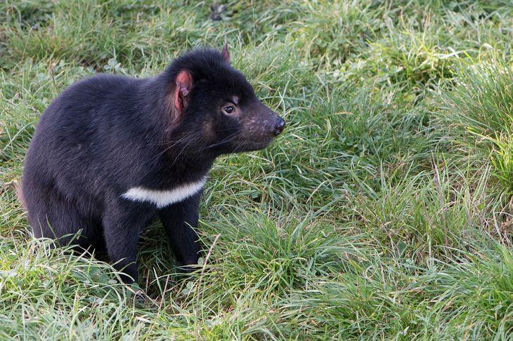 Marsupials: Tasmanian devil