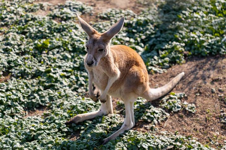 Marsupials: kangaroo