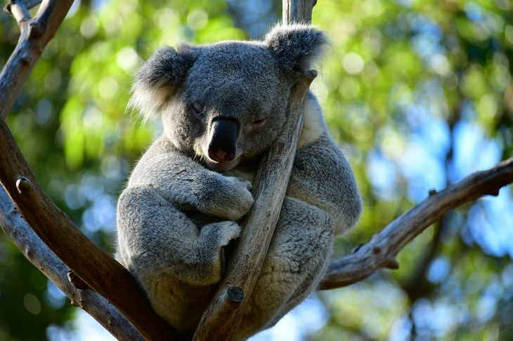 Marsupials: koala