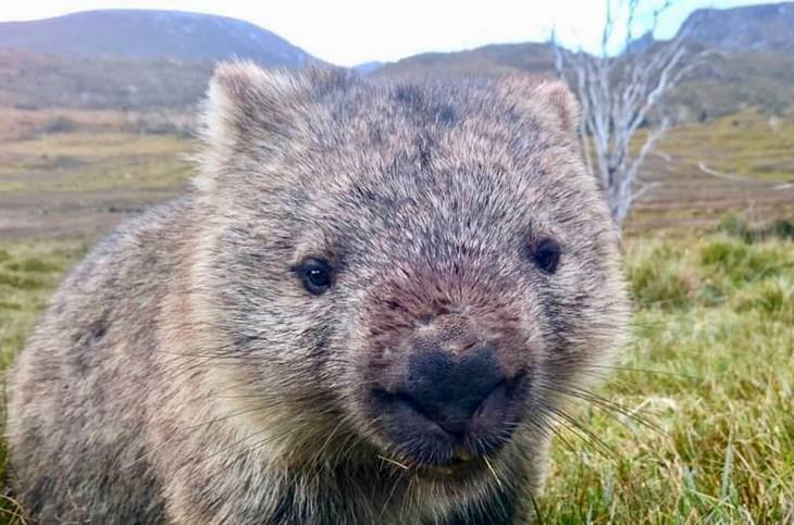 Marsupials: wombat