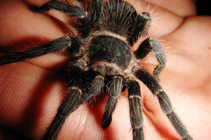 Spiders: tarantula on hand