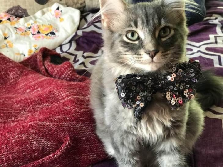 Adorable kitten pictures: bowtie