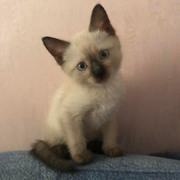 Adorable kitten pictures: siamese