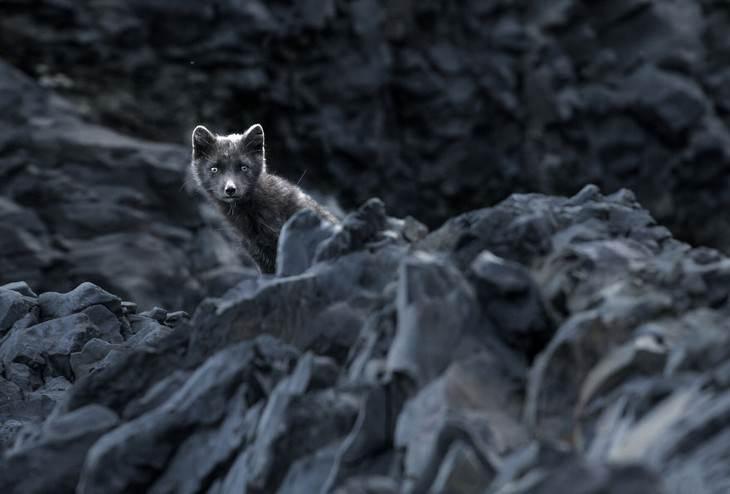 Iceland photography Signe Fotar Icelandic arctic fox