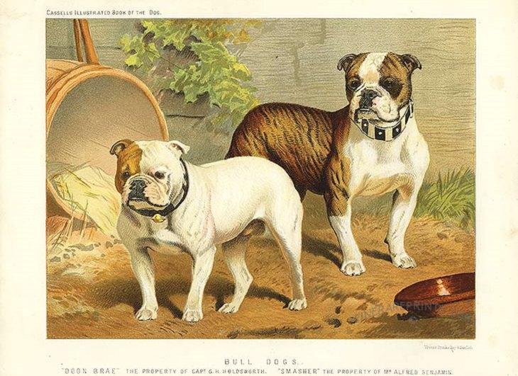 Purebred dogs: bulldog