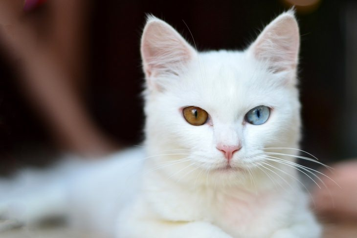 Melanin and Hearing: white cat with heterochromia deaf