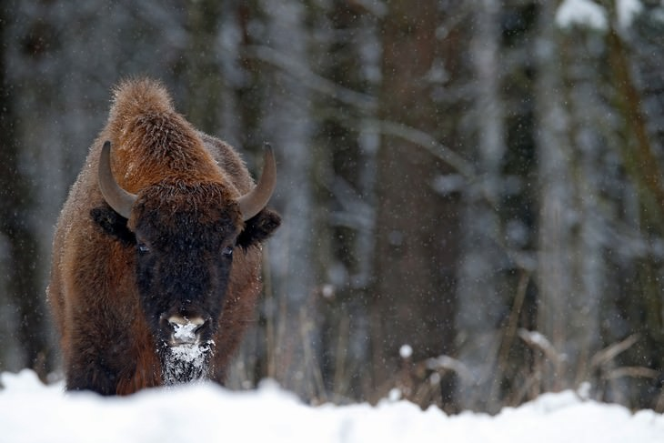 tourist attractions in belarus bison