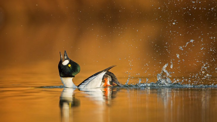 Bird pictures: goldeneye