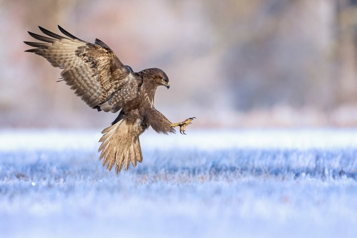 Bird pictures: buzzard
