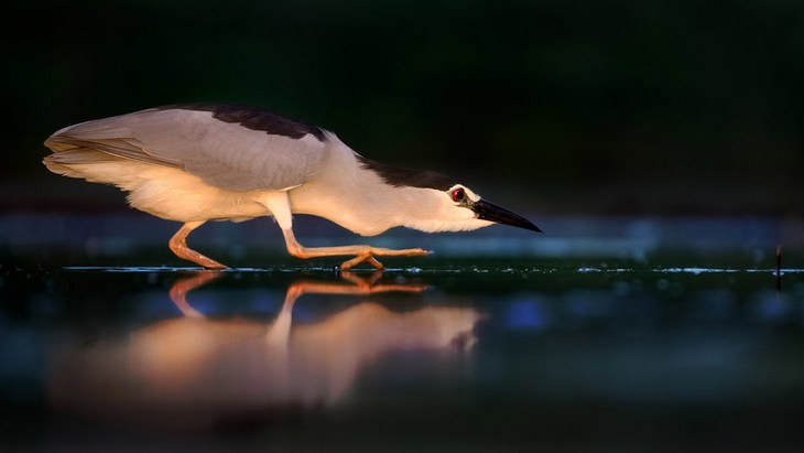 Bird pictures: night heron