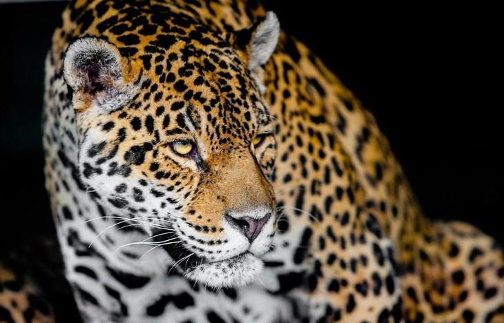 animal photos Goran Anastasovski leopard or jaguar