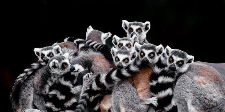 animal photos Goran Anastasovski lemurs