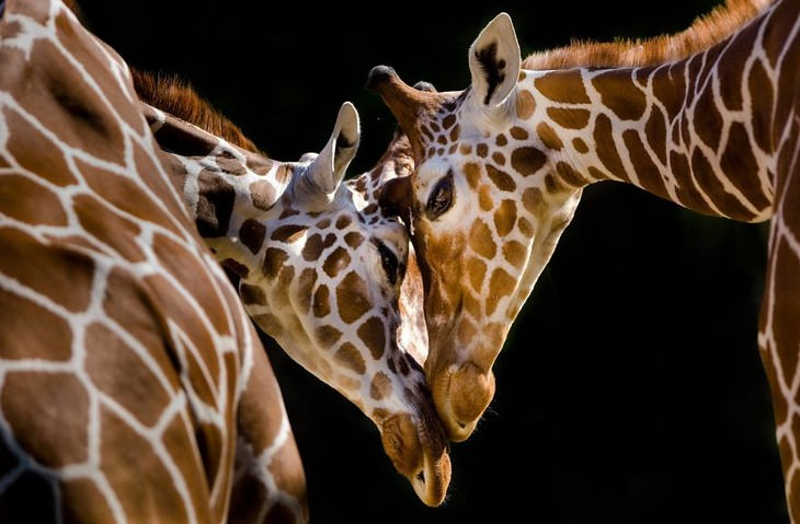 animal photos Goran Anastasovski giraffes