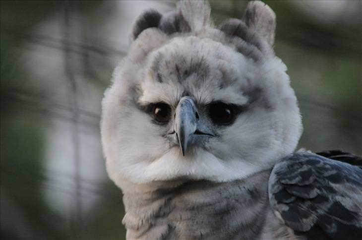 Guyana: harpy eagle