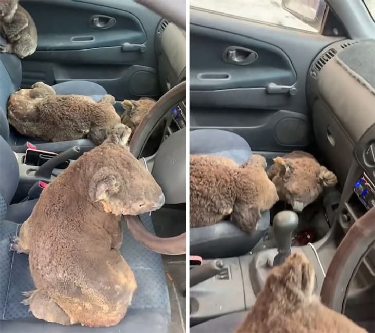 Australian Animals Saved from Fires Teens driving around andfilling their car with koalas to rescuethem from the fires