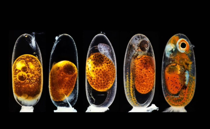 2020 Nikon Small World Contest Embryonic development of a clownfish (Amphiprion percula) on days 1, 3 (morning and evening), 5, and 9 by Daniel Knop