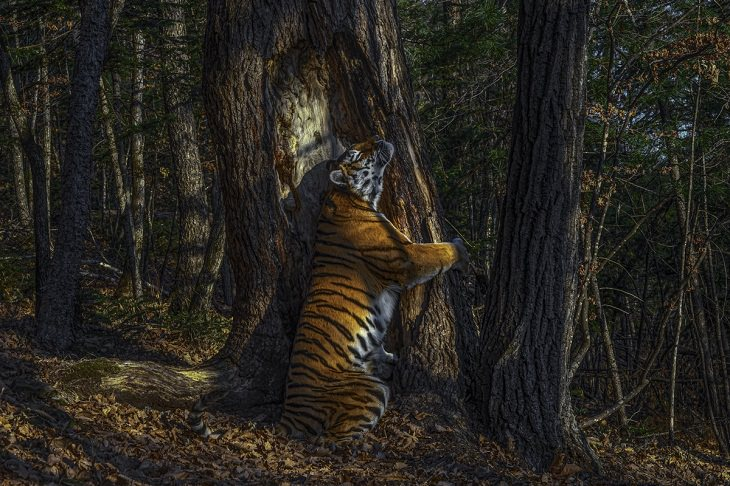 Wildlife Photographer of the Year 2020, Siberian tiger