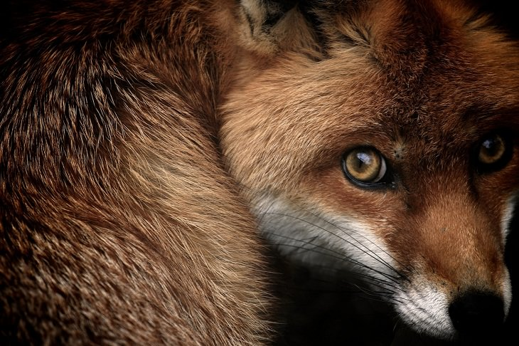 British Wildlife Photo Awards, Red Fox