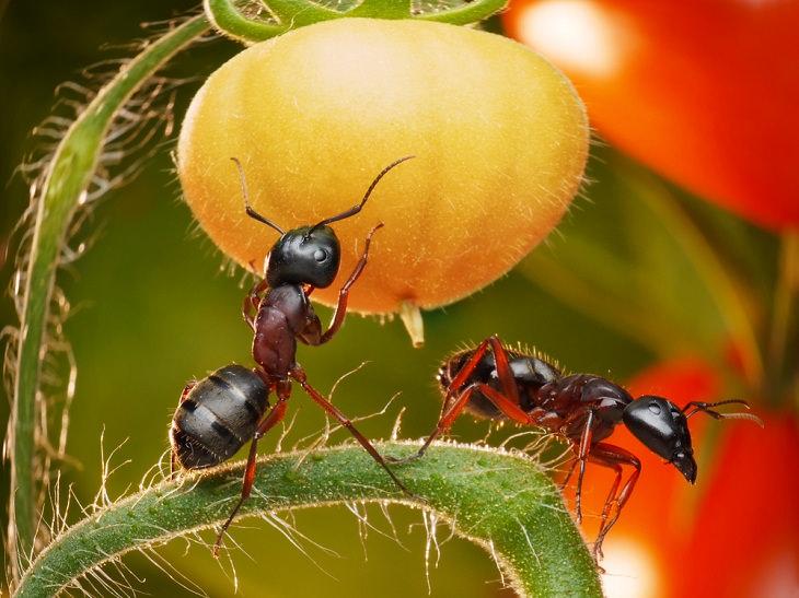 Baking Soda for Garden, ant infestations