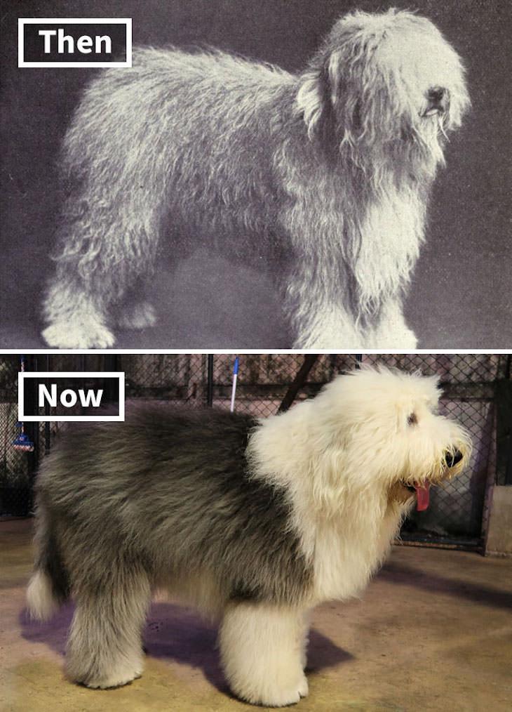 What Popular Dog Breeds Looked Like 100 Year Ago, Old English Sheepdog
