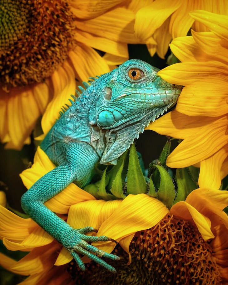 Animal Photos, Iguana